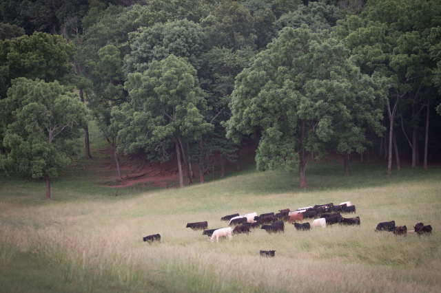 cattle-in-pasture